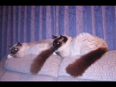 BIRMAN FALLING FOR MY CATS.wmv
