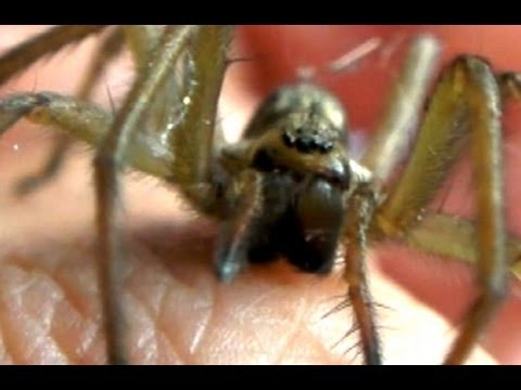 Hobo Spider Bite Test