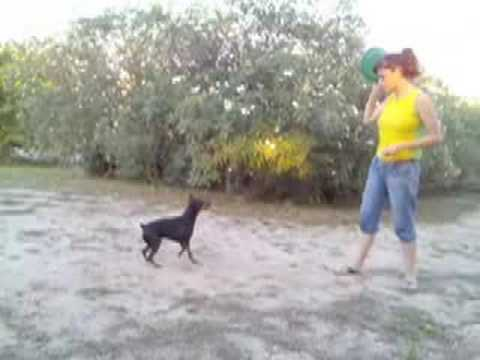 Pinscher Miniatura iniciandose con el frisbee