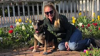 "Bull Terrier ""Gunner"" l Amazing Transformation l Dog Trainers Hampton Roads"