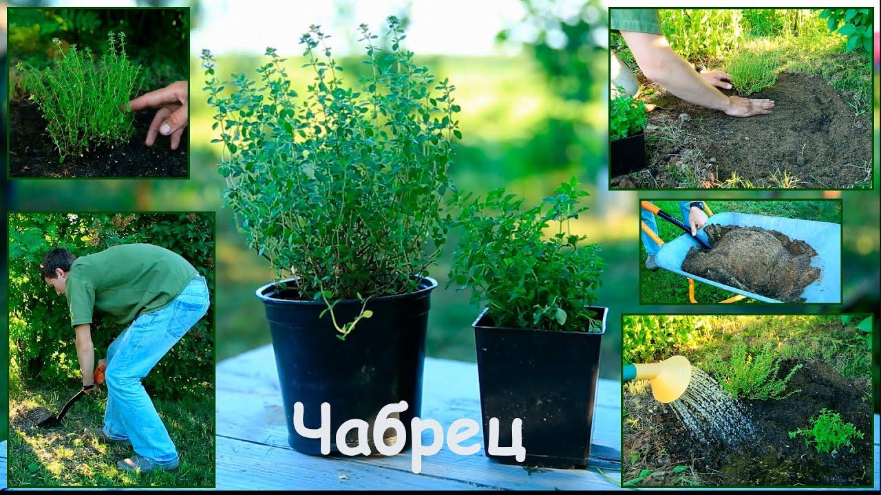Чабер огородный выращивание из семян когда сажать 20