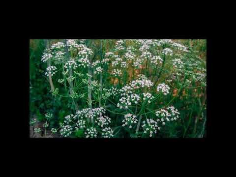Anis, Heilpflanze