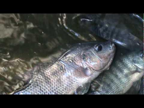 Como criar mojarra tilapia sexado youtube for Mojarra tilapia criadero