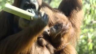 Chimply Marvellous: Baby orangutan doing well at San Diego Zoo
