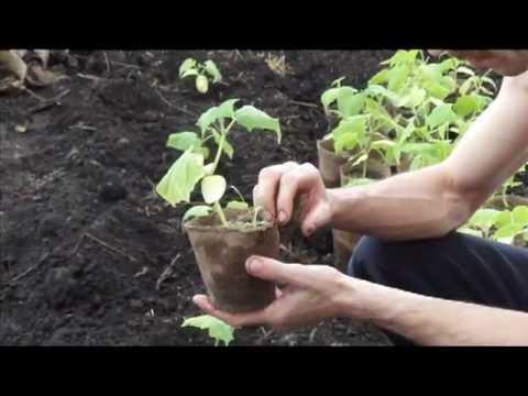 Посадка огурцов на рассаду для теплиц 112