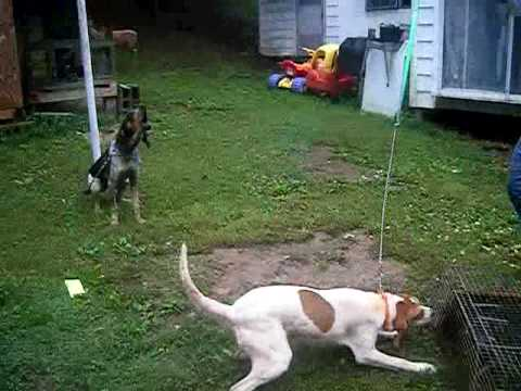 Coon dogs on live trap Video