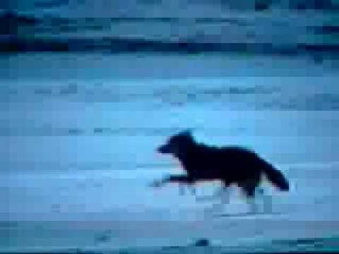 EAGLE VS FOX AND SIBERIAN WOLF