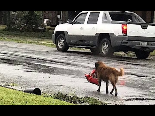 Resourceful Dog Walks Away With Bag Of Dog Food After Hurricane Harvey