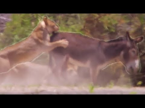 Lions hunting donkeys - BBC