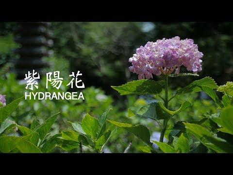 Hondoji Hydrangea 本土寺 紫陽花(あじさい)