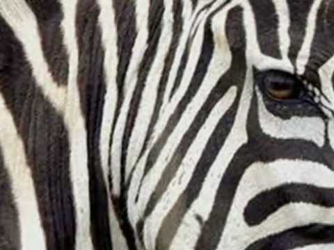 Face of a Zebra
