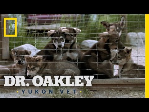 Puppies, Puppies Everywhere! | Dr. Oakley, Yukon Vet