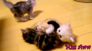 3 Cute Kittens Playing Together | Too Cute!