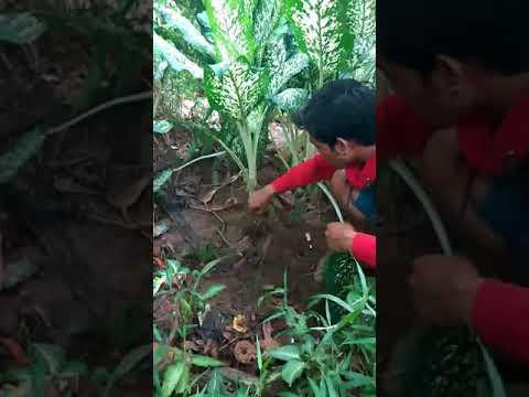 Mancing belut rawa psk jagung