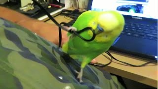 BUDGIE Plays With A Headphone Cable - Pedro Video #33 |Liz Kreate