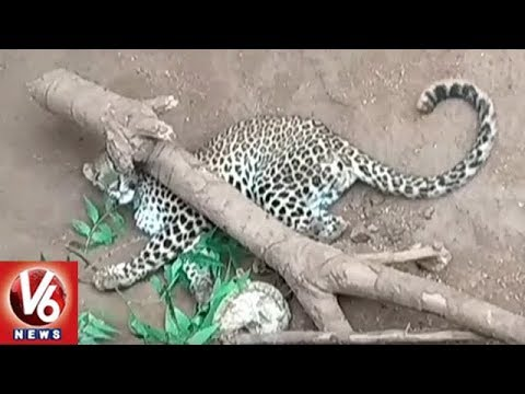 Nizamabad District Leopards In Danger Situation | V6 News