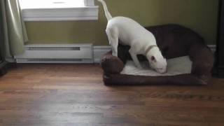 Mini Bull Terrier Bully Run