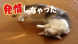 子猫発情 生後5ヶ月早熟な寧々 オス猫「ぼくできません」