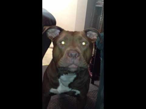 Pitbull Barking