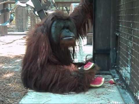 Orangutan eating watermelon
