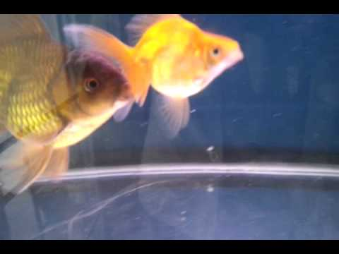 Sexual Intercourse Of Goldfish video