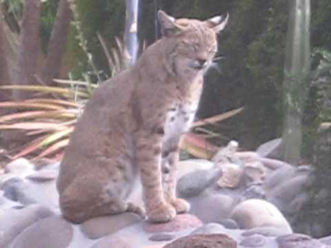 The Sounds of a Mother Bobcat Calling her Kittens. Turn volume up.