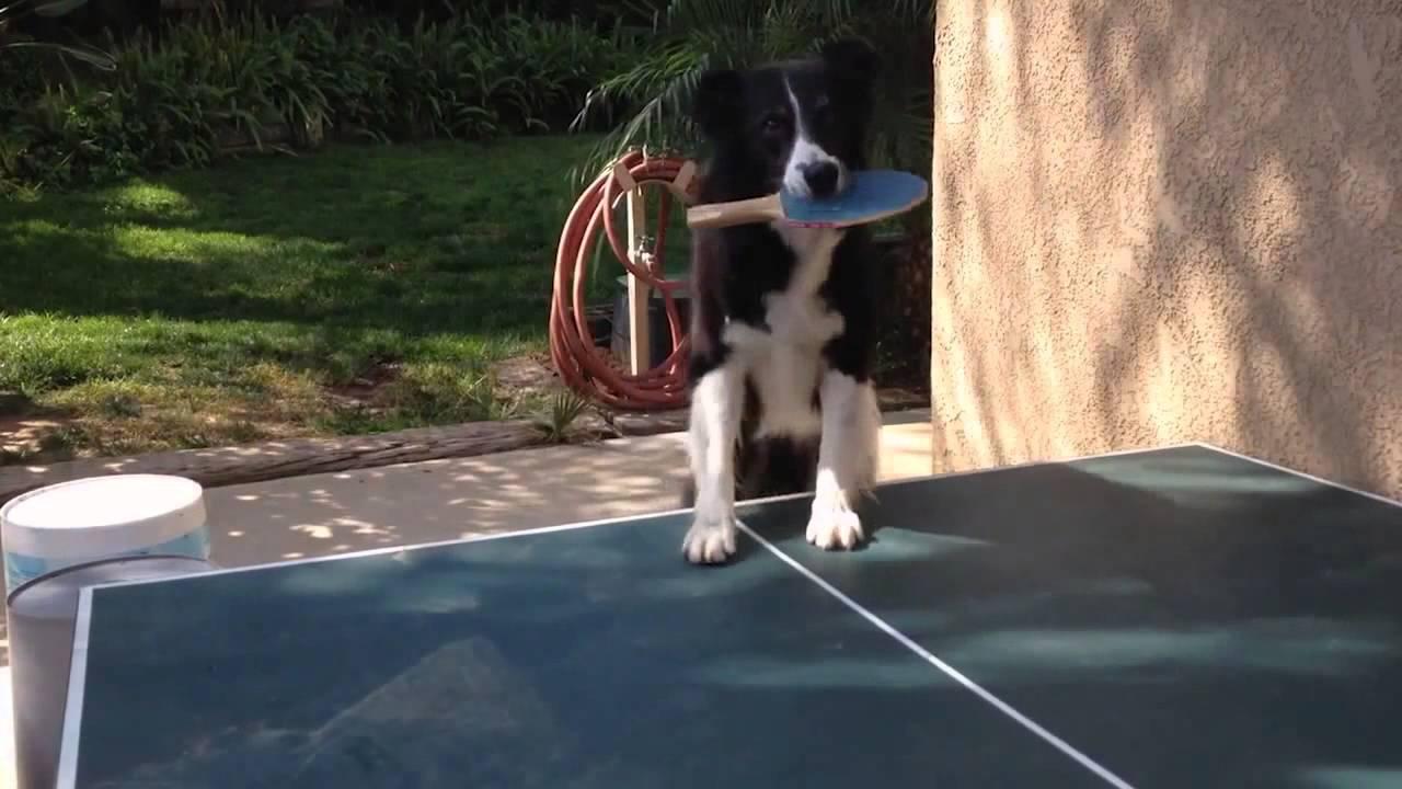 Kiválóan pingpongozik a kutya - videó