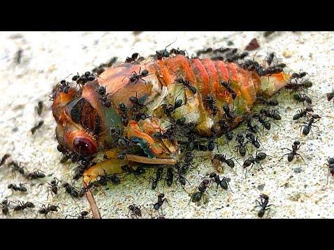 Cicadas Most Dangerous Life Death & Rescue (Graphic Nature Video)