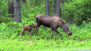 Wild Cow and Calf Moose near Anchorage Alaska 2014