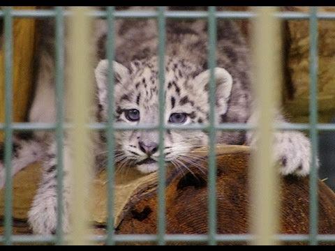 ユキヒョウの赤ちゃん 高いところが気になる~Snow Leopard Baby