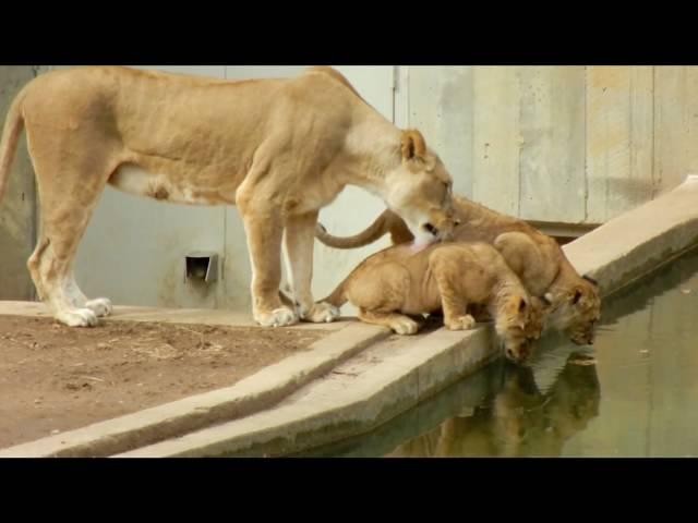 母獅想叼走幼獅,沒想到...