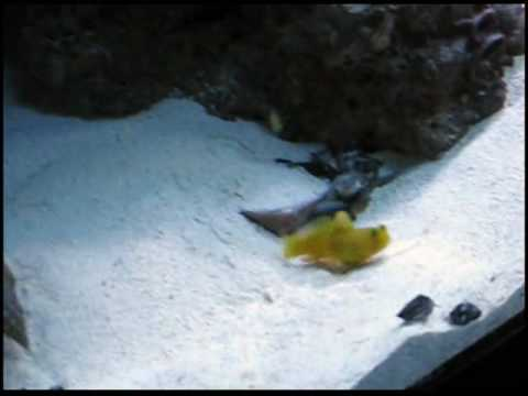 Yellow Watchman Goby For Sale Yellow Watchman Goby And Tiger