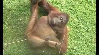 Gorilla Orgasm Orangutan Lust. She's almost human!