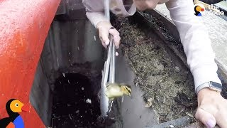 Woman Rescues Baby Ducklings With Pair Of Tongs | The Dodo