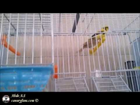 canaryfansclub - My breeding canary room S.2013