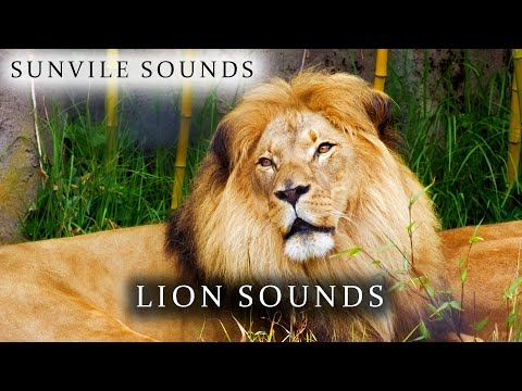 10 Hours of Lion Sounds