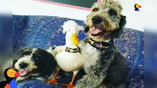 Rescued Duck LOVES His Dog Siblings & Acts Just Like His Human Family | The Dodo