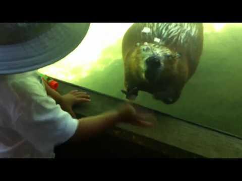 手を振る姿が超キュート!オレゴン動物園のビーバー