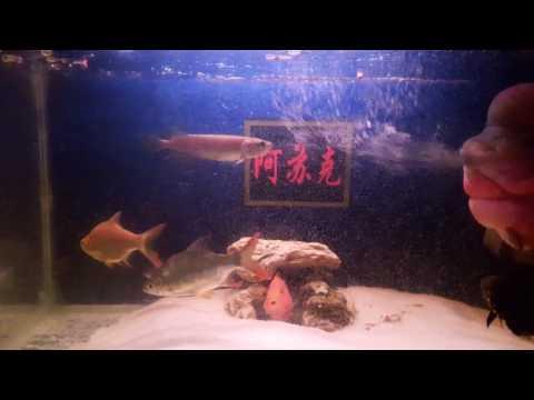 Arwona, Flowerhorn,Silver sharks,Tinfoil Barbs,Tiger Oscars,Parrot,Siver Dollar fish community tank