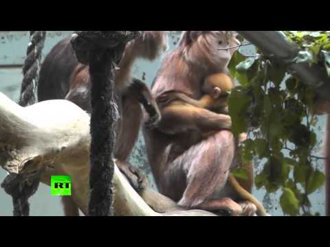 Monkey Melee Females fight over newborn primate at Berlin Zoo