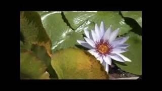 Producción de plantas ornamentales acuáticas
