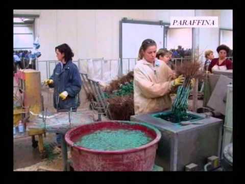 Maioli piante la nascita di una vite youtube for Barbatelle di vite