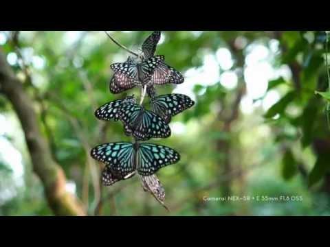 Ceylon Blue Glassy Tiger Slow Motion 240fps
