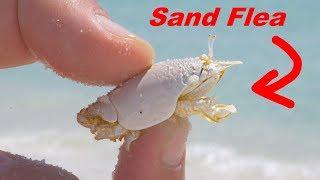 Eating Sand FLEAS!?