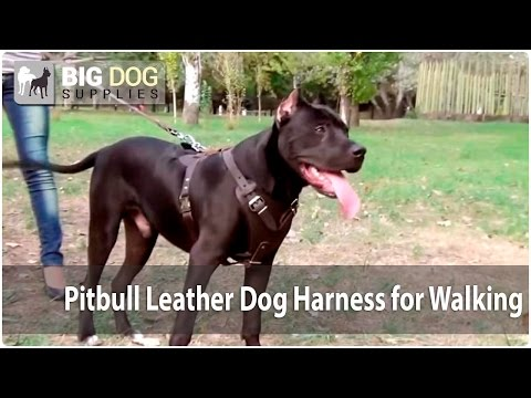 American Pitbull Terrier Wearing Training Dog Harness