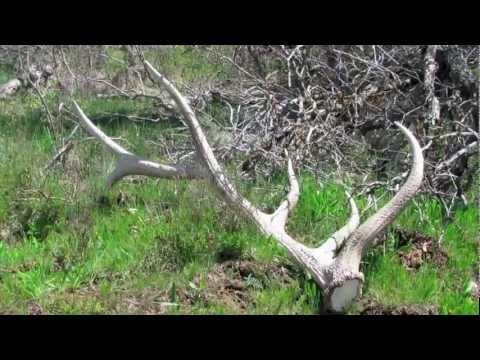 No Bone Left Behind (Short) Shed hunting. antlers. antler hunting. horn hunting. big elk