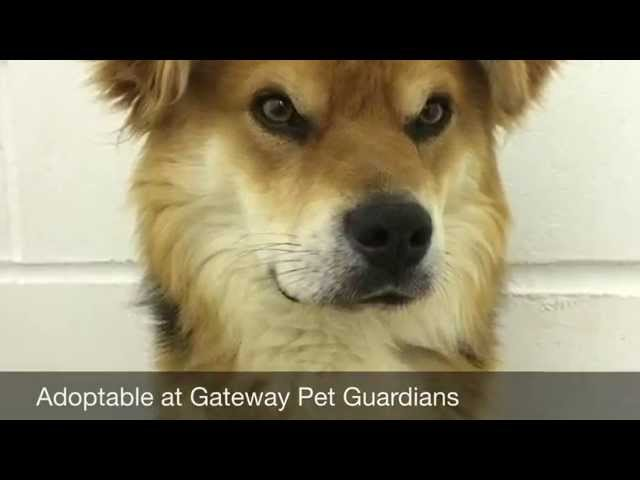 Meet Brutus - Adoptable Dog in St. Louis | Gateway Pet Guardians