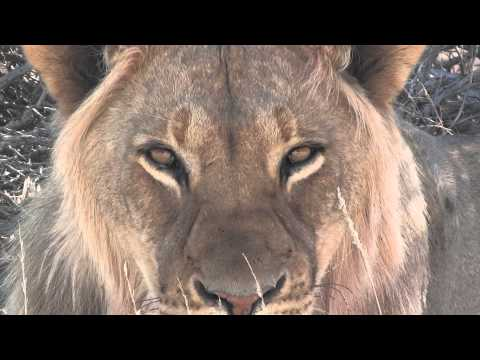 South Africa's Cats (Lions, Cheetahs etc etc)  - Felini del Sud Africa