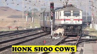 WAP7 Shoos Holy Cows Bamnia