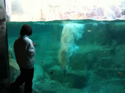 仙台市八木山動物公園のシロクマ